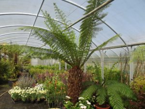 Dicksonia tree fern in the nursery