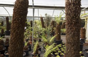 Tree ferns in the nursery
