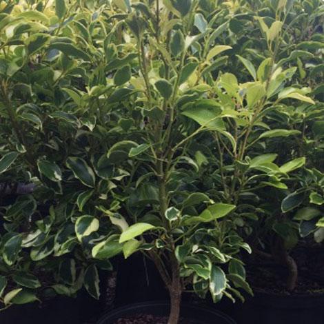 5L-Griselinia-Green-Jewel