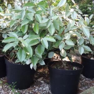 Elaeagnus x ebbingei hedging plant