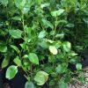 Griselinia Green Horizon 5ltr plant