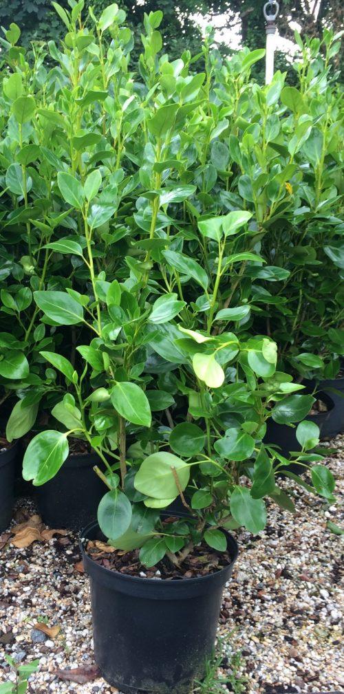 Griselinia Green Horizon plant