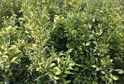 Sea of Griselinia Green Jewel