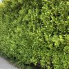 Griselinia hedge at Trevena Cross