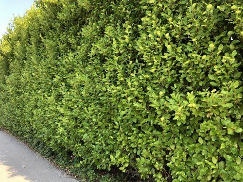 Griselinia hedge at Trevena Cross