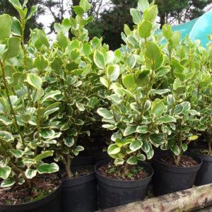 griselinia-varigated-hedge