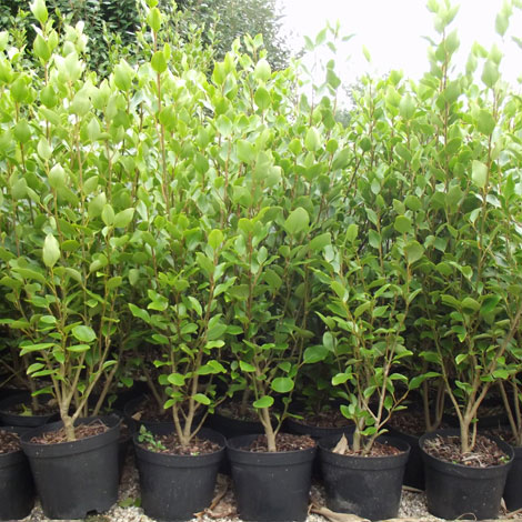 griselinia-littoralis-product