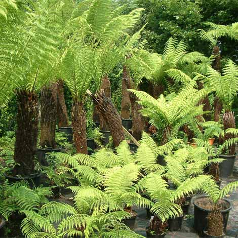 Dicksonia antarctica tree fern