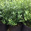 Euonymus Microphyllus plants