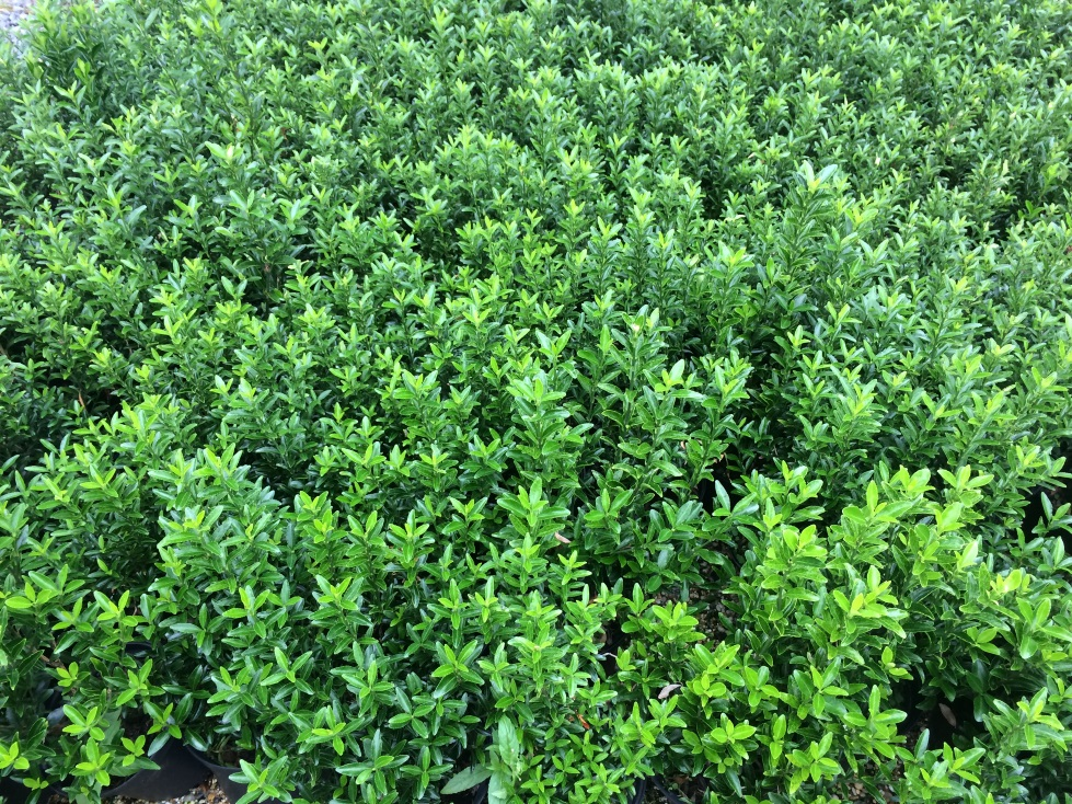 Picture of Live Boxleaf Euonymus aka Euonymus j. 'Microphylla' Shrubs Plant Fit 1 Gallon Pot