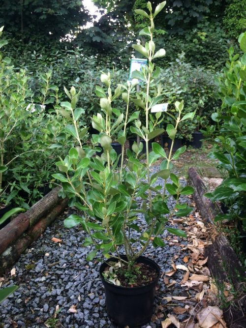 Olearia traversii five litre plant