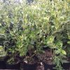 Olearia traversii hedging plants