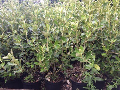 Olearia traversii hedging plants