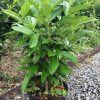 Prunus Genolia plant picture