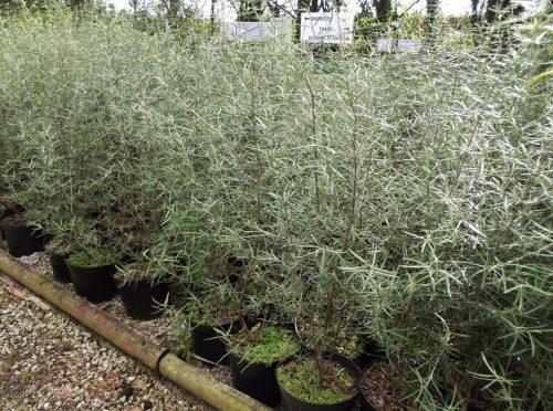 Olearia Laxifolia