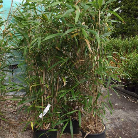 pseudosasa-japonica
