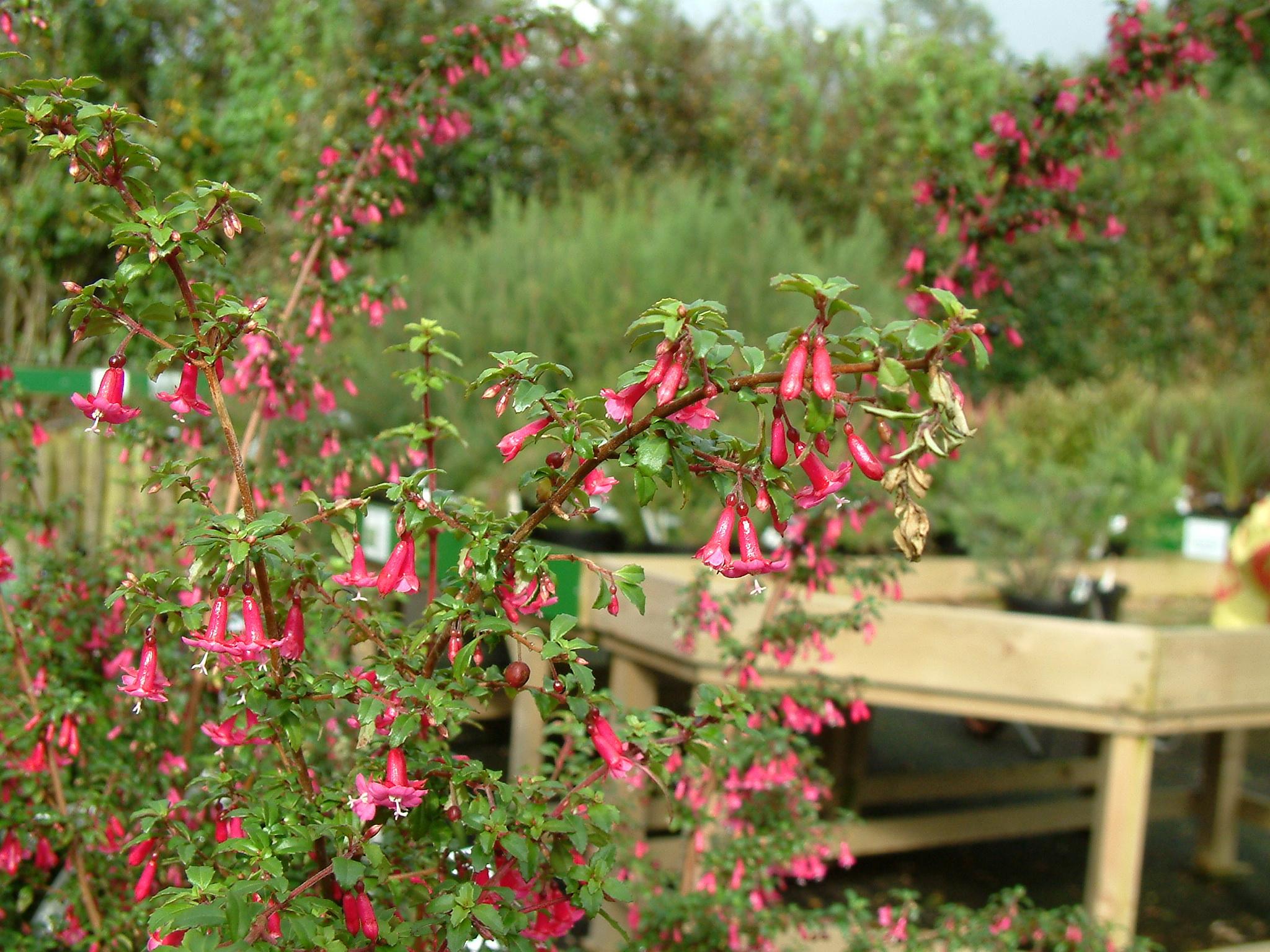 Fuchsia reflexa