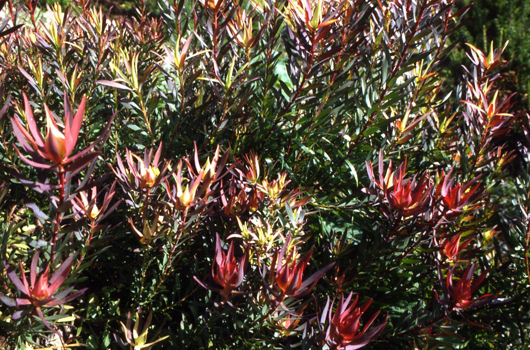 Leucadendron salignum 'Fireglow'
