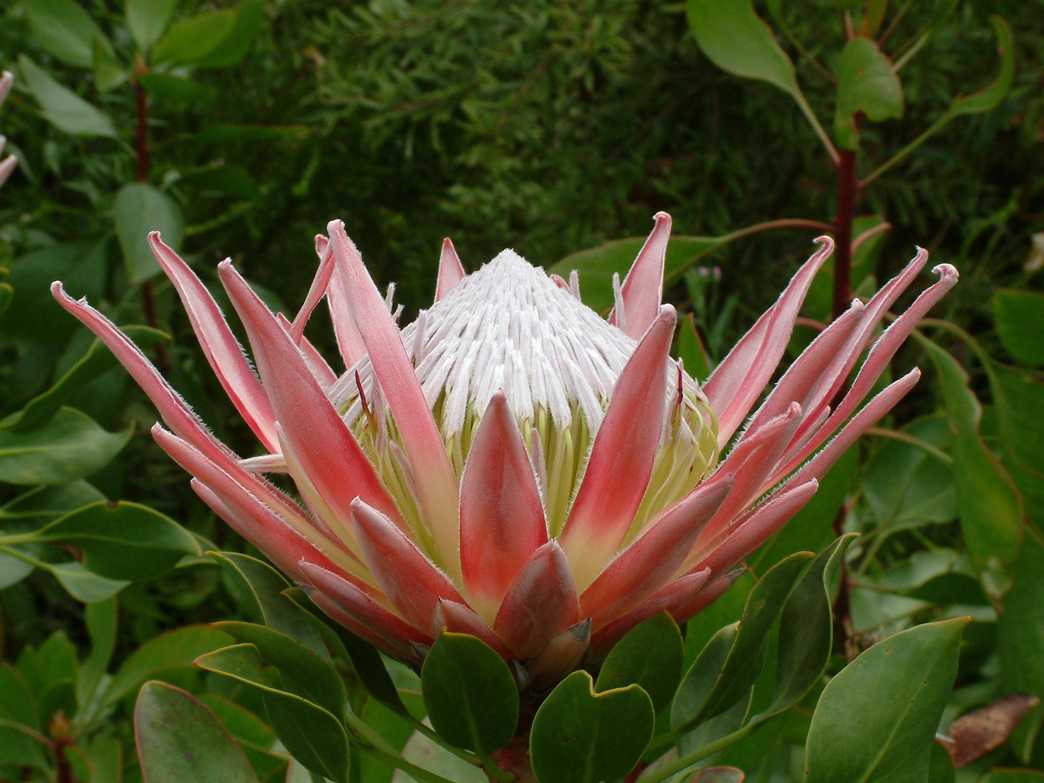 Protea cynaroides 'King Protea' flower