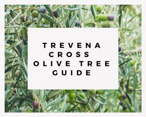 Trevena Cross Olive Tree Guide