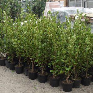 Griselinia littoralis 50 Plant Pallet Deal