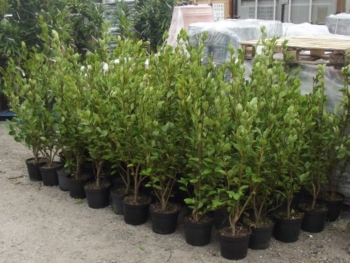 5ltr Griselinia littoralis UK wide pallet deal