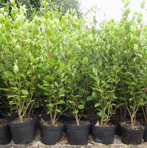 Gris 5ltr hedging plants