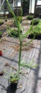Acacia pravissima liner
