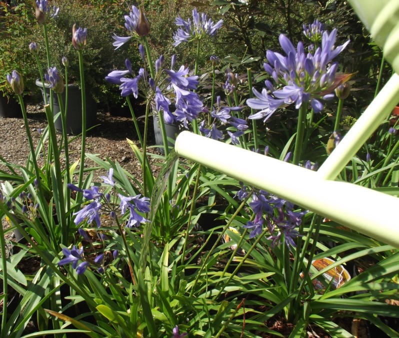 Watering agapanthus from watering can