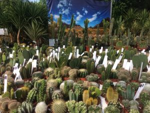 big cacti display