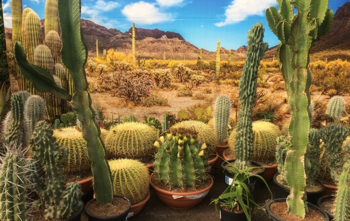 desert scene with cacti