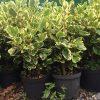 Griselinia Variegata plants