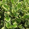 Griselinia Variegata leaves close up