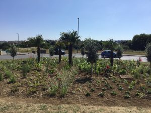 Falmouth Road roundabout planted up