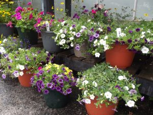 Multiple pots of lovely bedding plant displays
