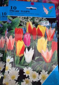 dwarf tulip bulbs