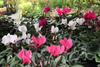 cyclamen bedding plants for autumn planting
