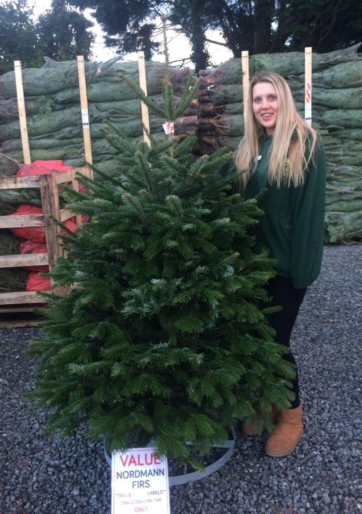 Nordmann Fir £25 value tree