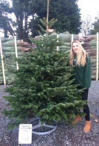 Nordmann Fir £55 premium tree