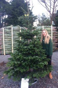 Nordmann Fir £65 premium tree