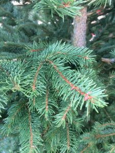 Norway Spruce close up