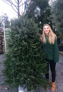 Omorika Christmas tree