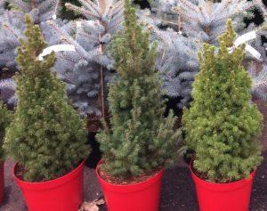 Picea glauca var. albertiana Conica small