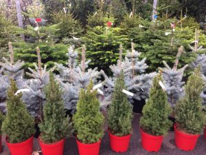 Potted Christmas trees at Trevena Cross