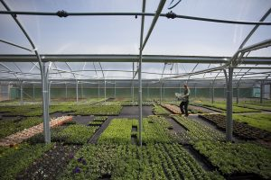 polytunnel in Trevena Cross nursery