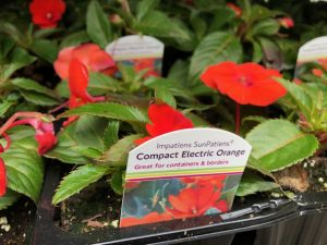 Patio Plants - Orange Impatiens