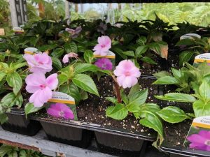 Patio Plants - Pink Impatiens