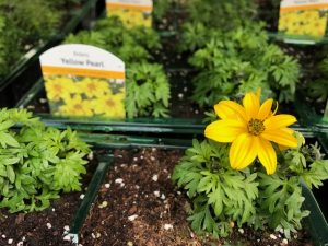 Patio Plants -Bidens 4-packs