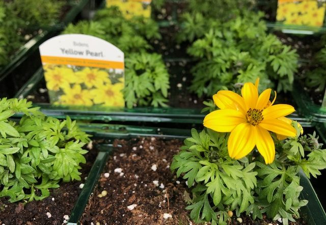 Patio Plants -Bidens 4-packs