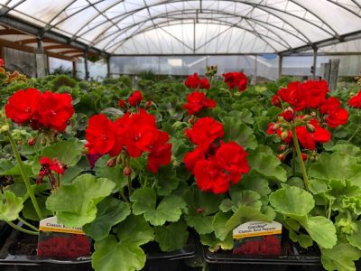 Patio Plants - Geranium 4-packs